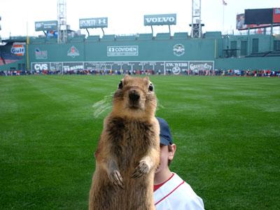 squirrel-fenway